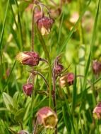 avens among green grass closeup