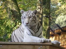 white tiger resting in zoo