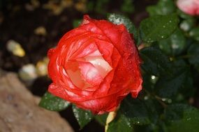 red rose flower after rain