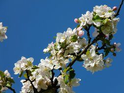 apple blossoms on a background of bright blue sky