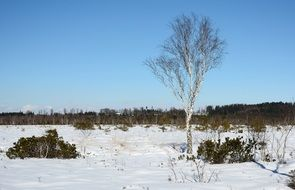 Birch on a winter field