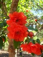 bright red flowering pomegranate flower