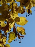 bright lime tree leaves and seeds on a sunny day