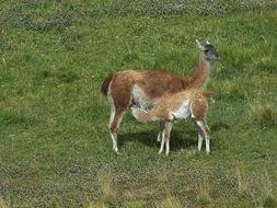 Lama with offspring in a pasture in Chile