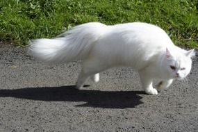 white cat with a fluffy tail in motion