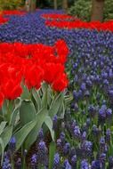Dutch beautiful tulip garden