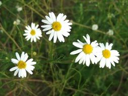 white bright daisies in the meadow closeup