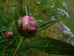 dew drops on pink peony flower buds