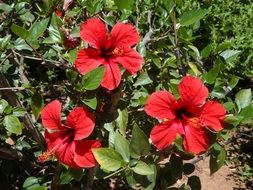 red garden hibiscus