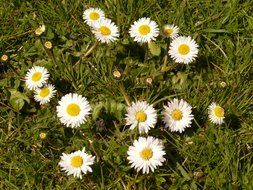 top view of a meadow of daisies