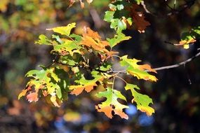 autumn oak leaves on a branch
