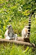 lemurs with striped tails