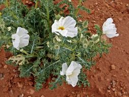 white mexican poppy flowers