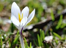 white crocus on the field