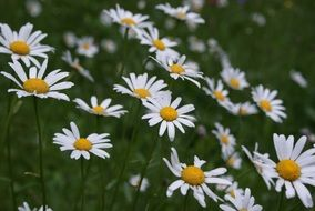 summer chamomile field