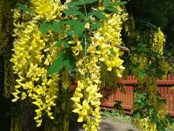 laburnum is a poisonous plant