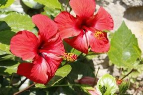 red hibiscus flowers in a garden