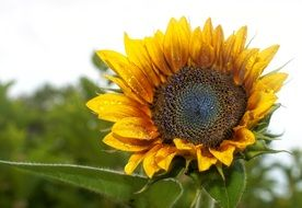 yellow sunflower plant