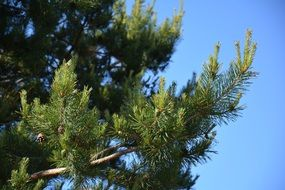 pine tree forest branch cones sky view