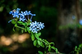 Blue forget me not flowers pointed