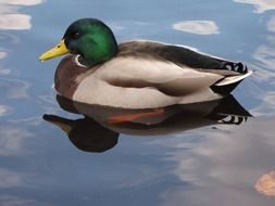 Picture of duck is in a water