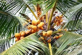 ripening sweet coconut