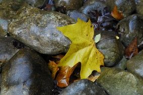 fallen yellow maple flower on the stones