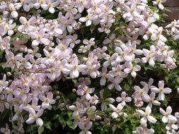 Picture of clematis plants