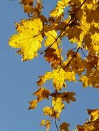 mountain maple autumn leaves against the blue sky