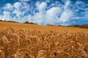 Golden Wheat field nature