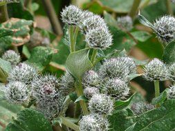 burdock with green leaves and flowers woolly