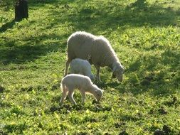 sheep with offspring in a meadow on a sunny day