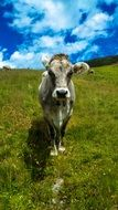 cow in a mountain green meadow
