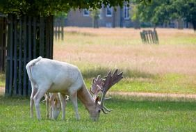 white deer with baby pasturing