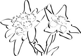 graphic image of silhouettes of edelweiss