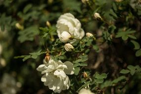 white dog rose flowers