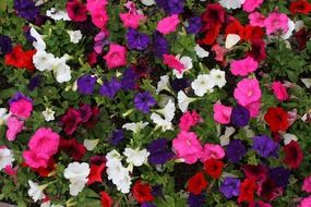 petunia flowers of different colors