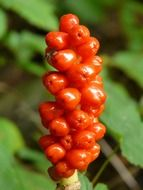 plant with poisonous red berries