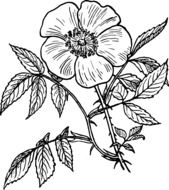 Drawing of the eglantine plant clipart