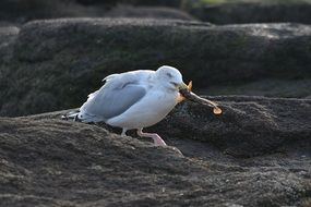 seagull feeding fish on rock