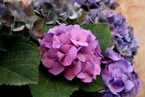 hydrangea of different shades