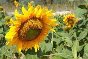 sunflower plants flower yellow
