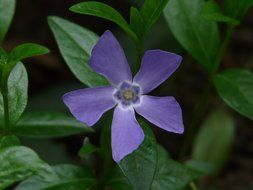 periwinkle among the dark green leaves