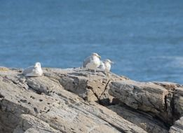 three white seagulls on a rock by the ocean