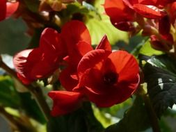 Begonia with red flowers