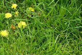 yellow green dandelion meadow