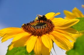 insect on a bright sunflower on a clear sunny day