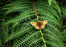 Picture of the butterfly on a fern plant