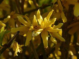 yellow Forsythia in the glare of light and shadow