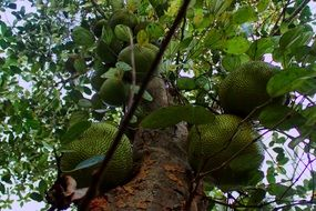 bottom view of jackfruits